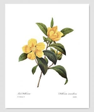 Set Of 3 Botanical Art Yellow Flower Prints Redoute French Home Wall Decor Daffodil Sunflower 8x10 Unframed 0 0 300x360