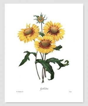 Set Of 3 Botanical Art Yellow Flower Prints Redoute French Home Wall Decor Daffodil Sunflower 8x10 Unframed 0 2 300x360