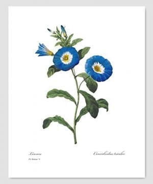 Set Of 3 Botanical Prints Blue Wall Art Redoute Flower Home Cottage Decor Campanula Lotus Iris 8x10 Unframed 0 0 300x360