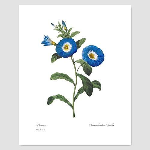 Set Of 3 Botanical Prints Blue Wall Art Redoute Flower Home Cottage Decor Campanula Lotus Iris 8x10 Unframed 0 0