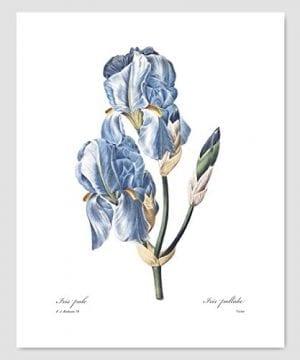 Set Of 3 Botanical Prints Blue Wall Art Redoute Flower Home Cottage Decor Campanula Lotus Iris 8x10 Unframed 0 2 300x360