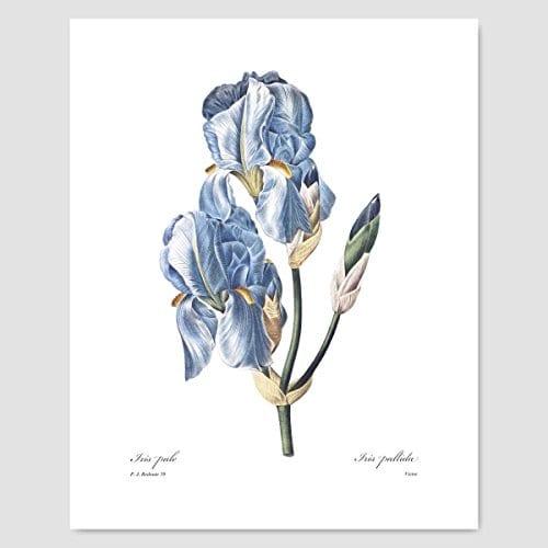 Set Of 3 Botanical Prints Blue Wall Art Redoute Flower Home Cottage Decor Campanula Lotus Iris 8x10 Unframed 0 2