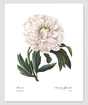 Set Of 3 Botanical Prints White Home Decor Room Redoute Flower Wall Art Camellia Peony Magnolia 8x10 Unframed 0 0 300x360