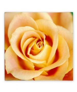 Antique Rose By Kathy Yates 24x24 Inch Canvas Wall Art 0 300x360